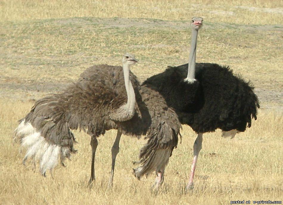 Страус эму: это птица или зверь, где живет и фото того, как выглядит