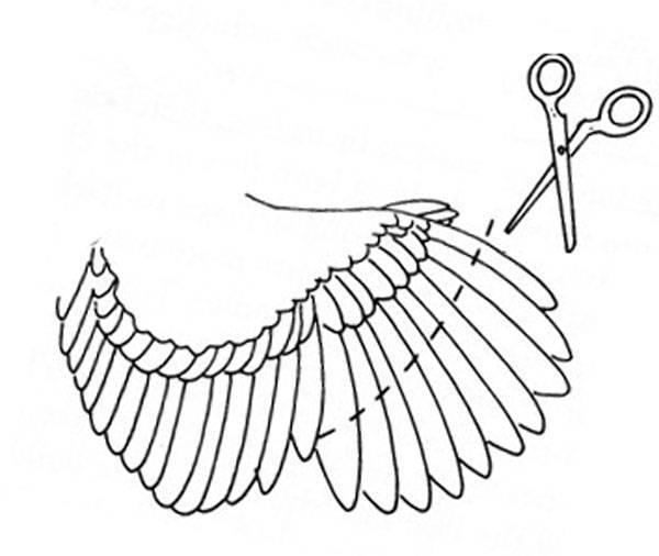 Как правильно подрезать крылья курам, техника, рекомендации