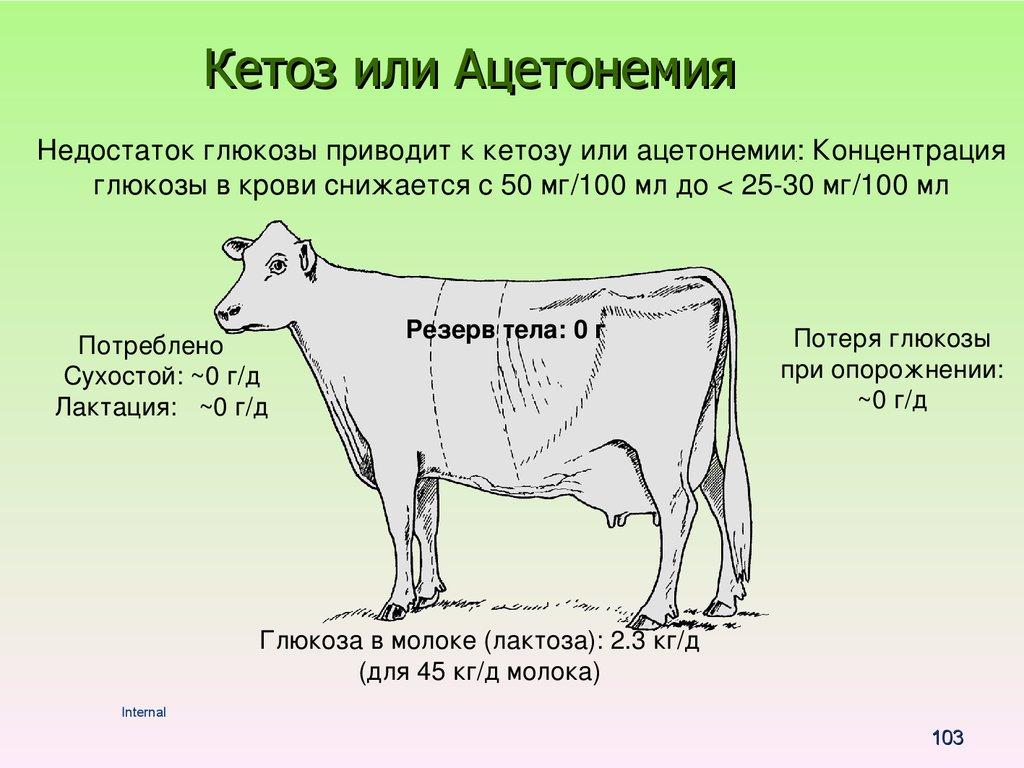 Чем опасен кетоз и как быстро вылечить корову