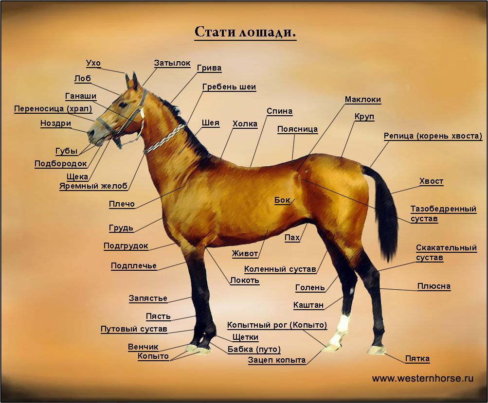 Копыта у лошади: зачем нужны, что внутри, как ухаживать и чистить