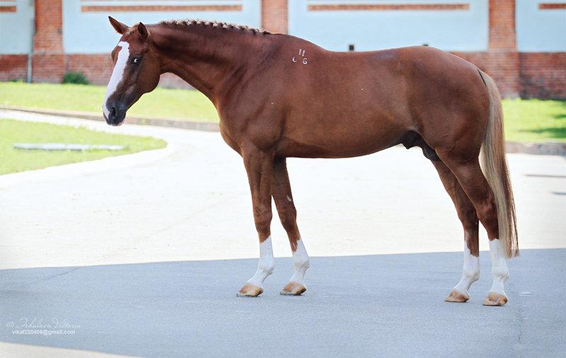 Вестфальская порода лошадей: описание,история, фото и видео, характеристики