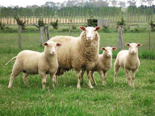 Молочное овцеводство