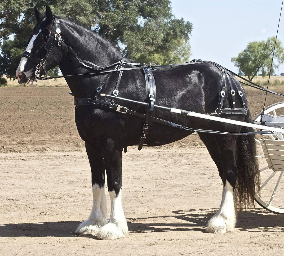 Лошадь шайр (английский тяжеловоз): фото породы, разведение и уход