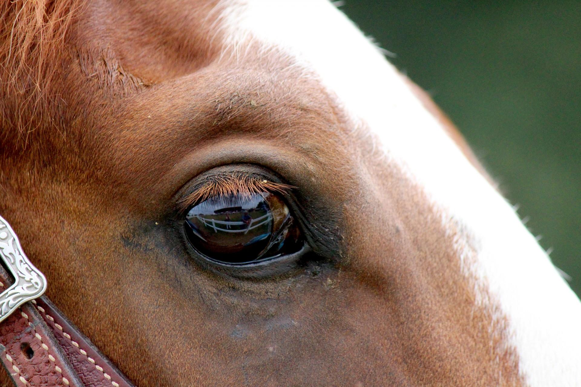 Глаза лошади: особенности строения и зрительного анализатора