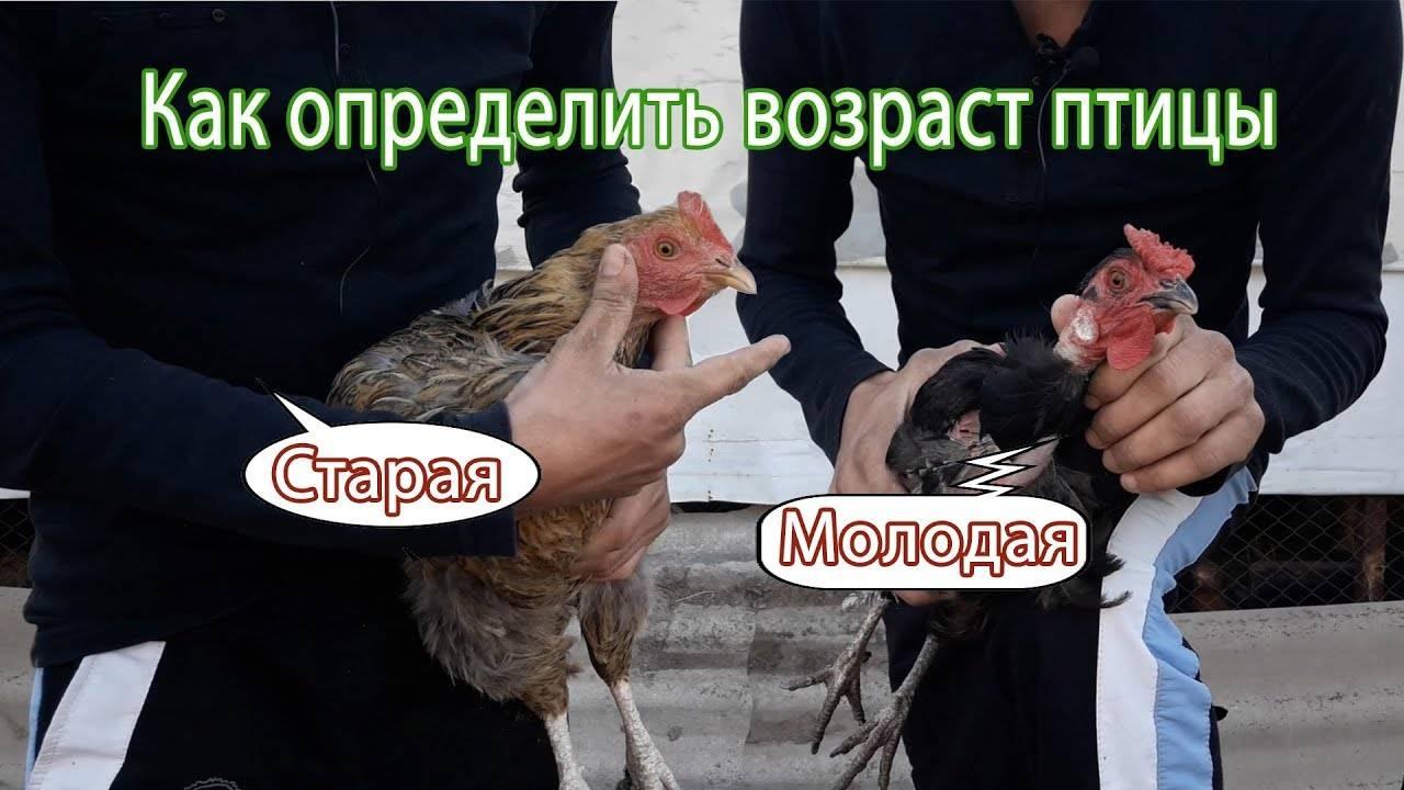 Определение возраста у кур: как отличить старую птицу от молодой