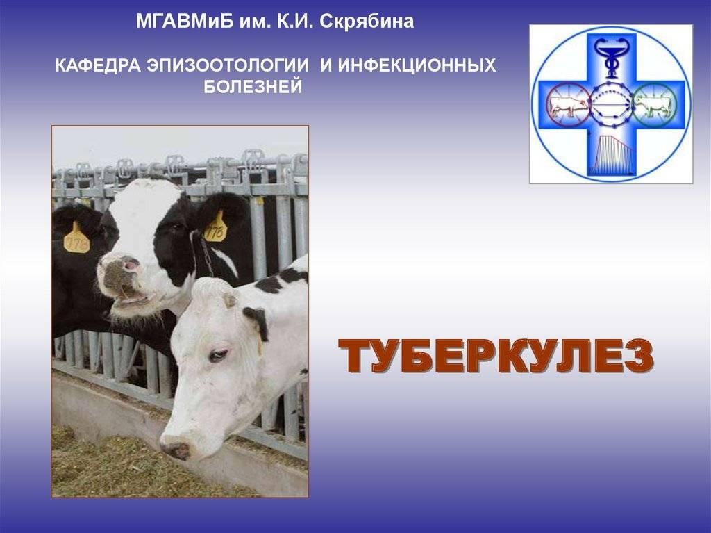 Всё о лейкозе у коров: пути заражения, признаки и в чём опасность?