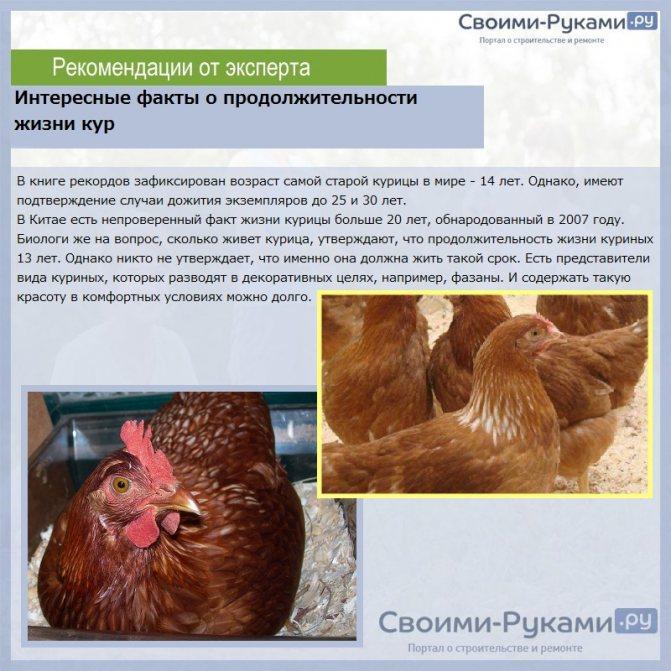 Как определить, несется курица или нет, как узнать которая несет яйца