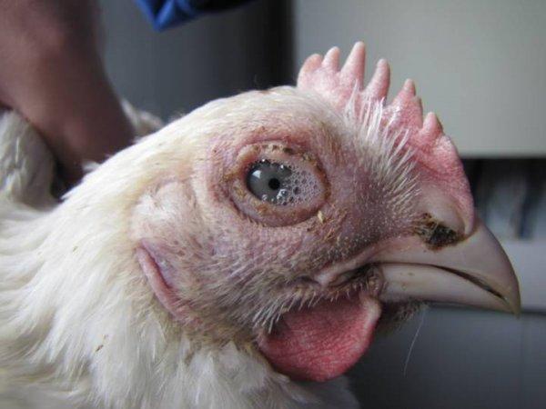 Болезни глаз у кур - фото с описанием и их лечение