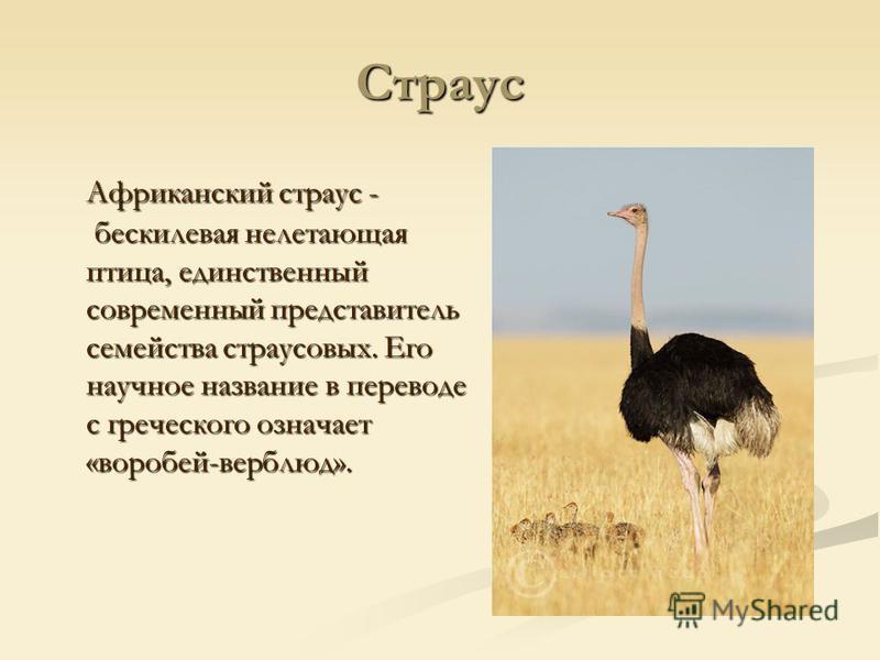 Где живут страусы. страус африканский: что расскажет о себе самая большая птица? виды страусов, фото и названия
