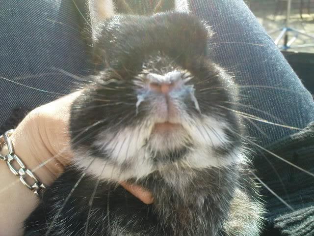 Кролики как лечить мокрец у малышей. как выявить и лечить инфекционный стоматит у кроликов? что собой представляет инфекционный стоматит