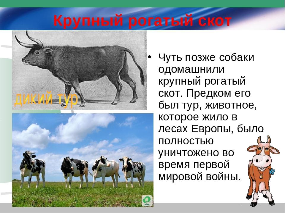 О крупном рогатом скоте: биологические и хозяйственные особенности крс