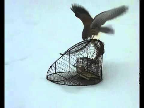 Как поймать фазана: методы и основные правила