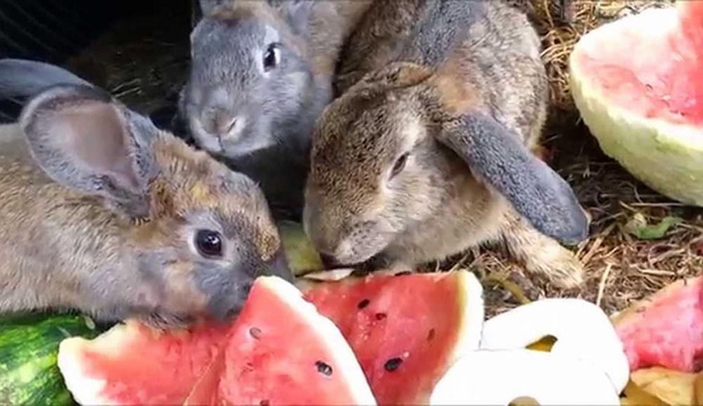 Чем кормить кроликов: корма и условия кормления