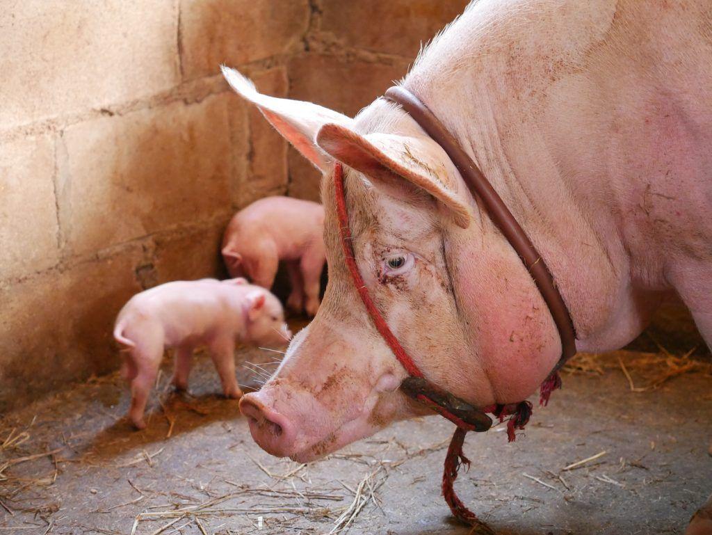 Как выявить и побороть саркоптоз (чесотку) у свиней