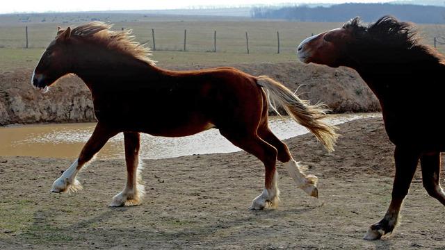 Тяжелоупряжные породы лошадей | fermer.ru - фермер.ру - главный фермерский портал - все о бизнесе в сельском хозяйстве. форум фермеров.