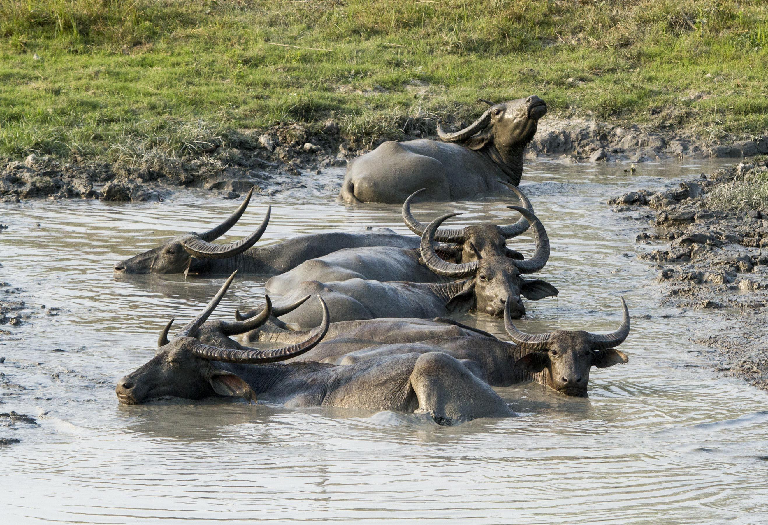 Индийский водяной буйвол, или азиатский буйвол