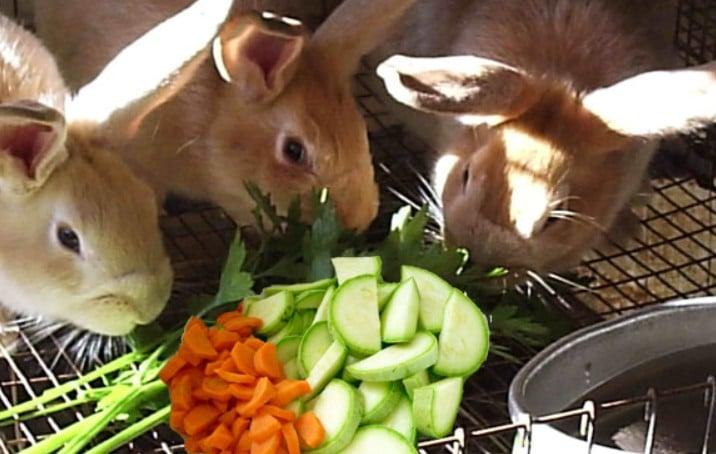 Можно ли давать кроликам тыкву и кабачки - правильное кормление