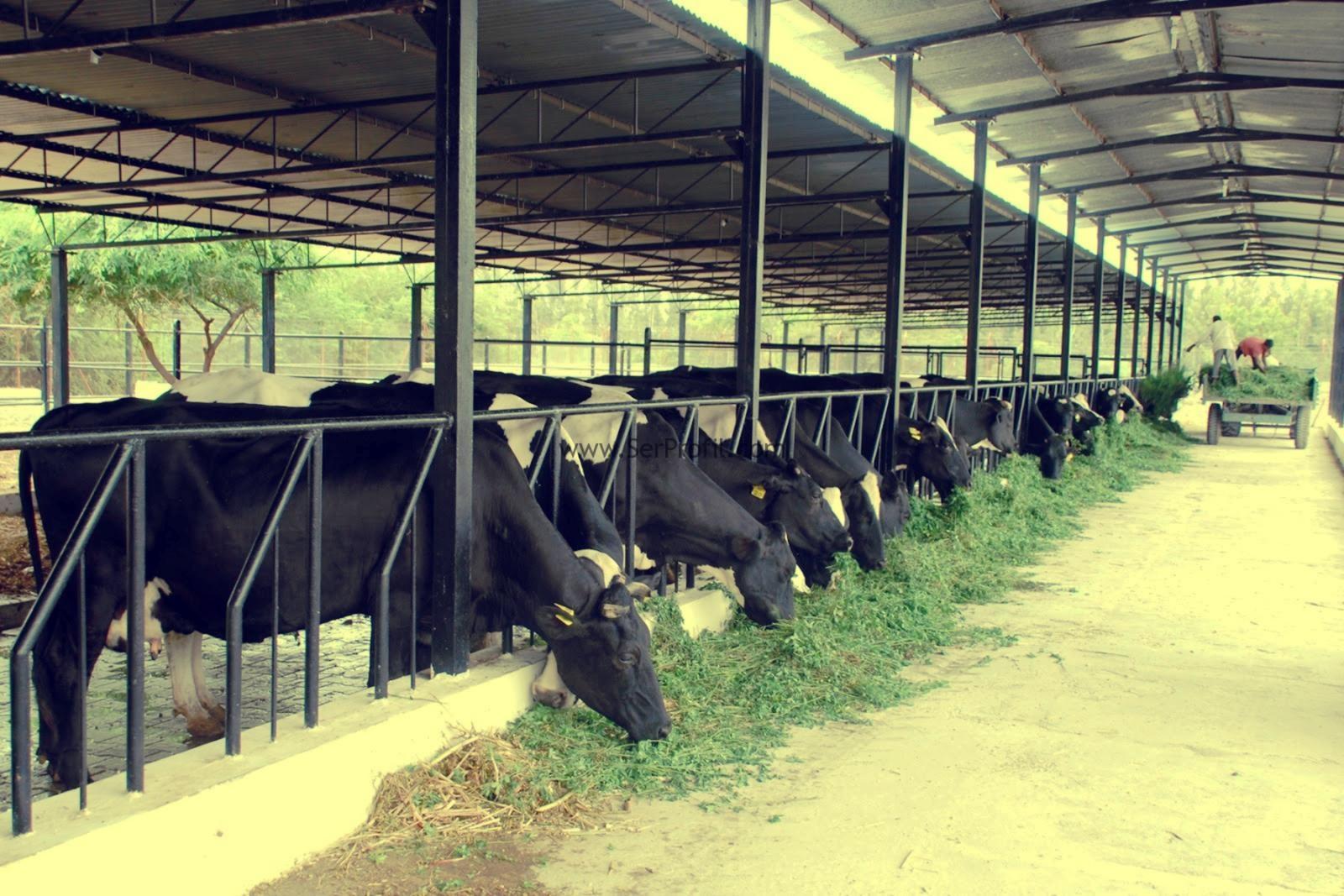 Мини молочная ферма на 50 голов крс для откорма - типовой проект строительства с минимальными затратами
