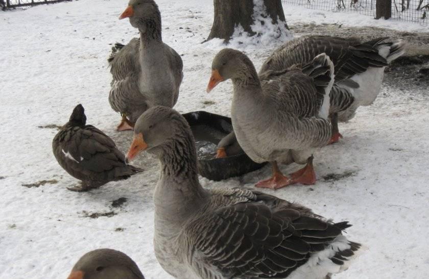 Когда начинают нестись гуси и почему бывает, что гуси не несутся