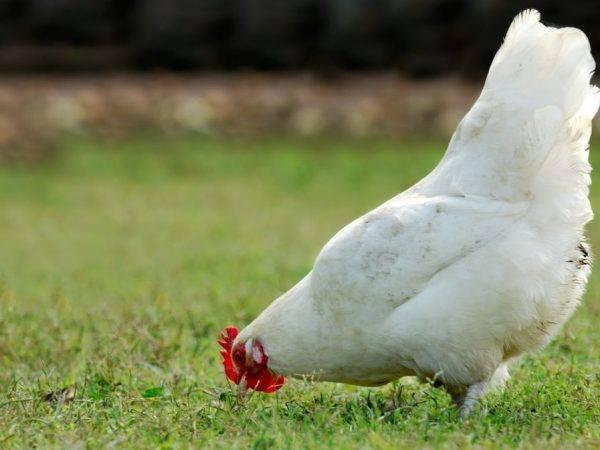 ✅ куры брессгальские фото и описание. порода кур бресс гальский - cvetochki-ulyanovsk.ru