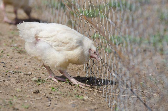 Почему цыплята опускают крылья?