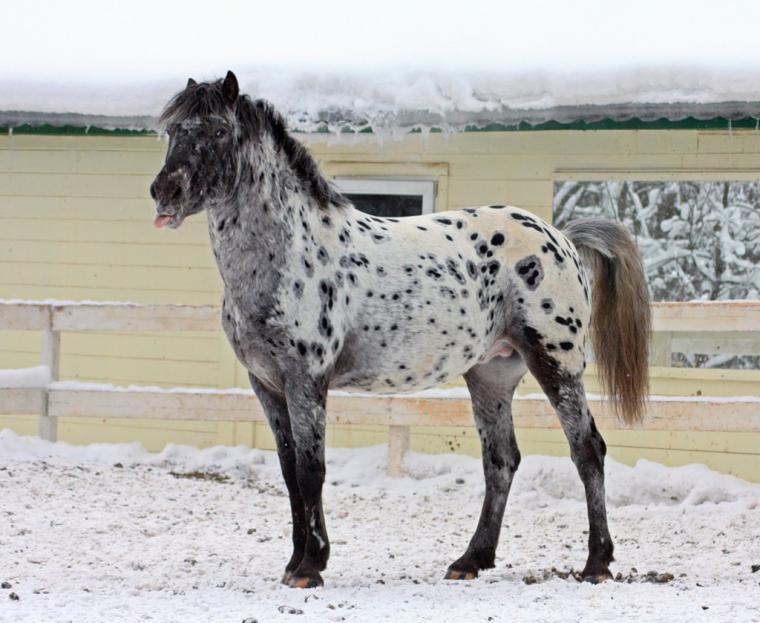Пегая лошадь: обзор масти, ее особенности, виды, описание с фото