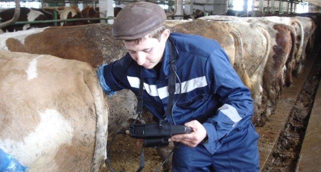 Как определить стельность коровы в домашних условиях народными средствами — что это такое стельная буренка и как узнать, что она беременна — moloko-chr.ru