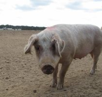 Кокцидиоз свиней