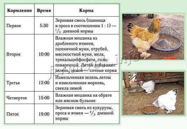 Все о цветных бройлерах: описание и характеристики пород, кормление, выращивание