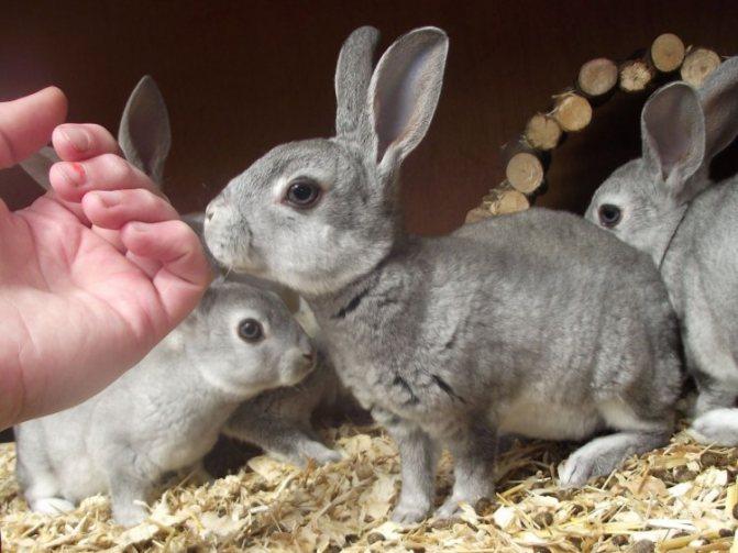 Порода кроликов советская шиншилла описание разведение