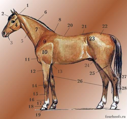 Сколько лет живут лошади? 2020
