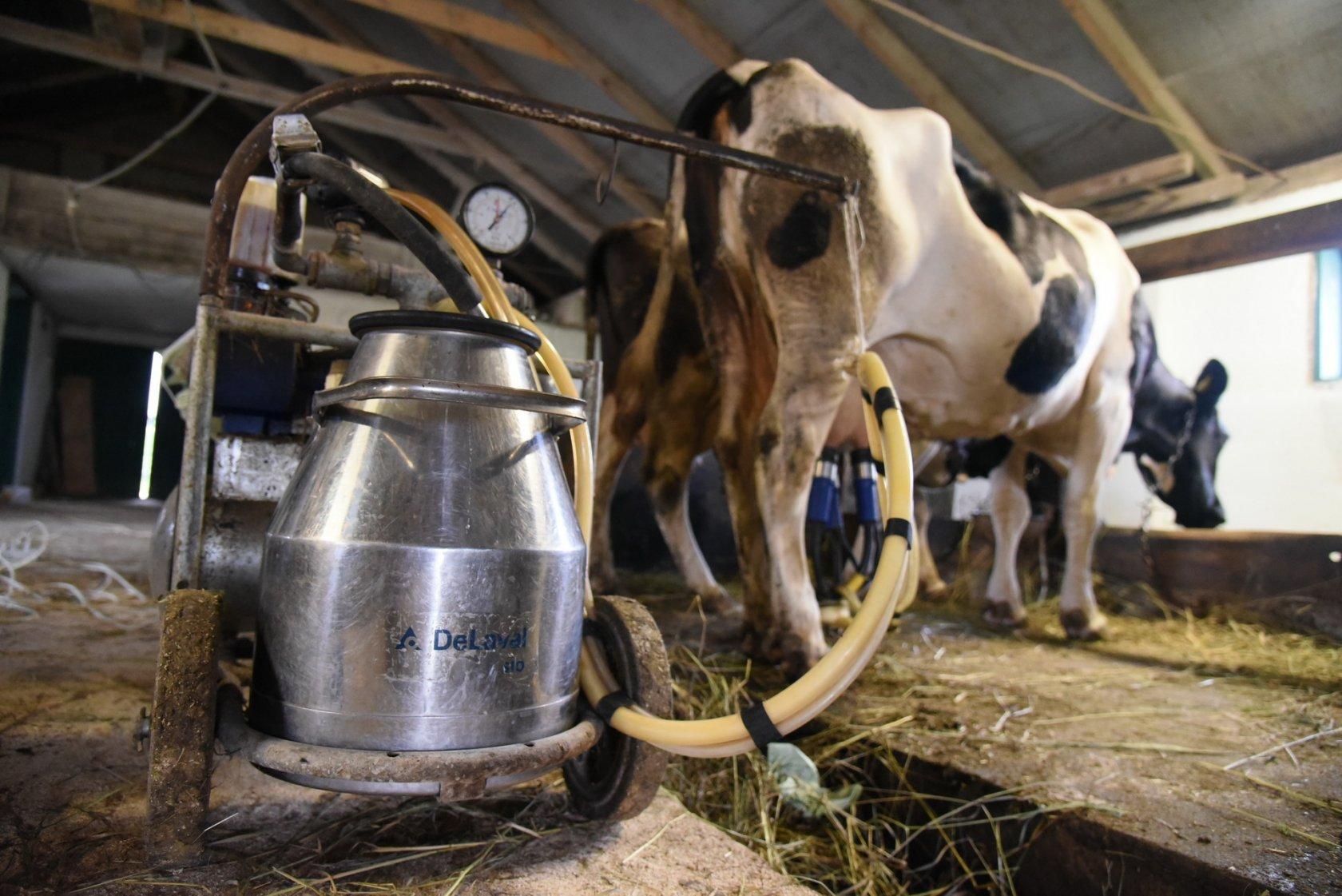 Признаки съедения коровой последа после родов, лечение и последствия