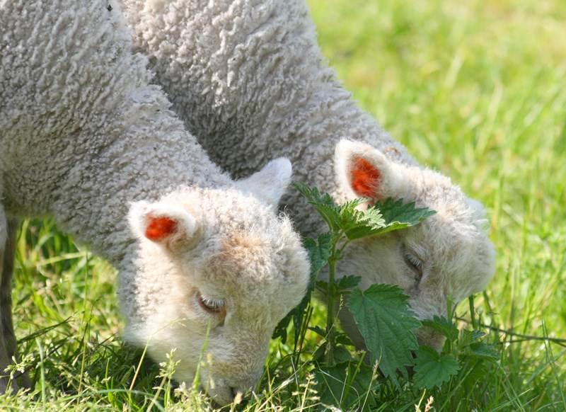 Кто такой ягненок: как называют детеныша овцы и барана, козы, свиньи
