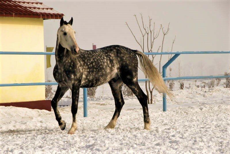 Чем славится орловская порода лошадей