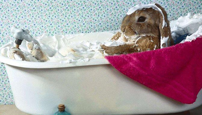 Можно ли купать кролика: проблемы и особенности процедуры. фото.
