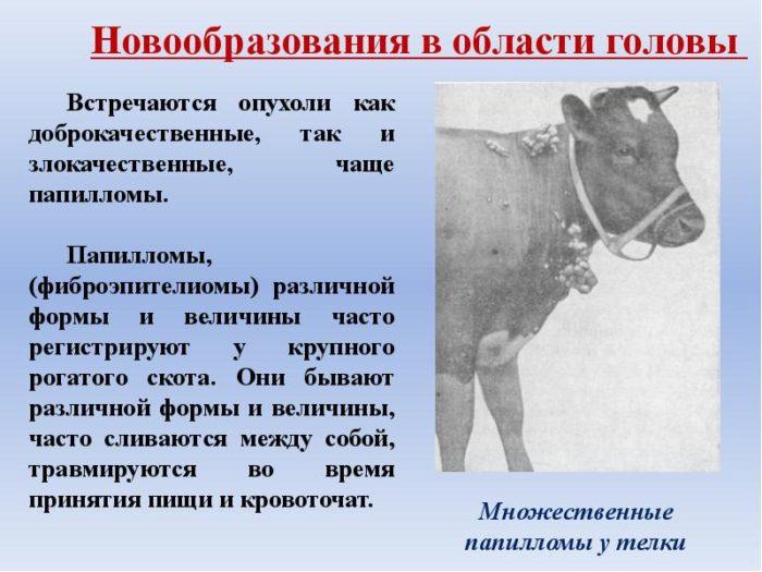 Бородавки на вымени у коровы: чем лечить?