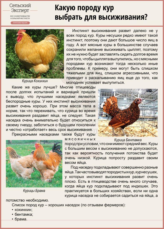 Яйценоские породы кур - описание видов + фото