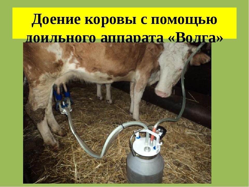 Как приучить корову к доильному аппарату (из опыта!) - мои коровы
