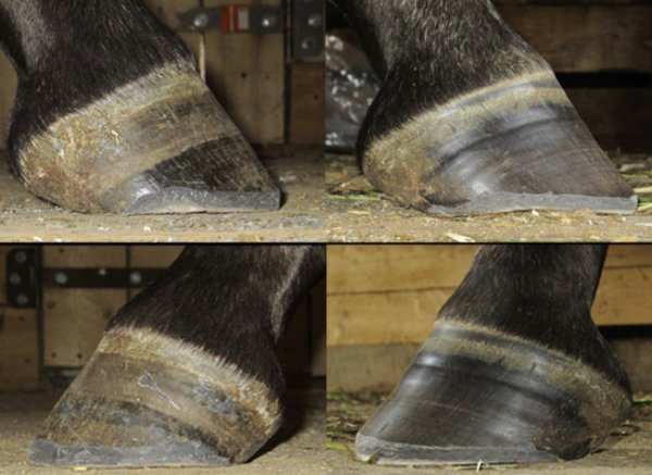 Лошадиные копыта: признаки здоровых копыт, как подковать лошадь