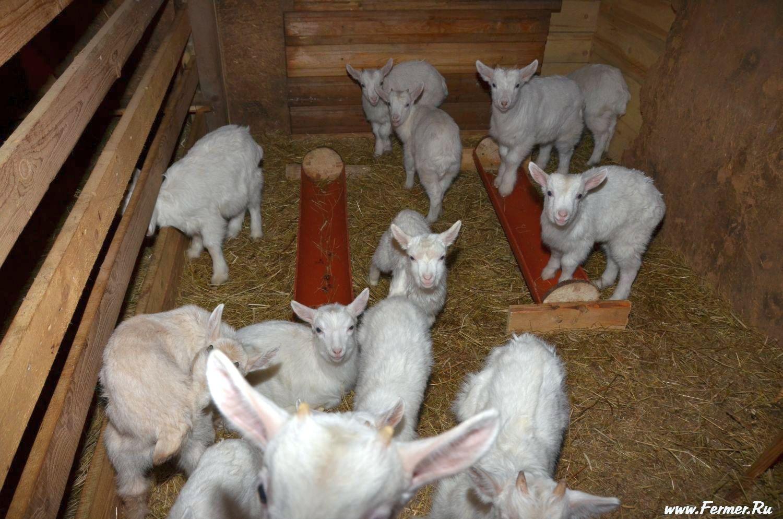 Разведение коз в домашних условиях для начинающих - камчатгосплем