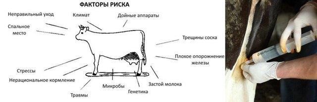 Как правильно доить корову: различные методы и массаж вымени