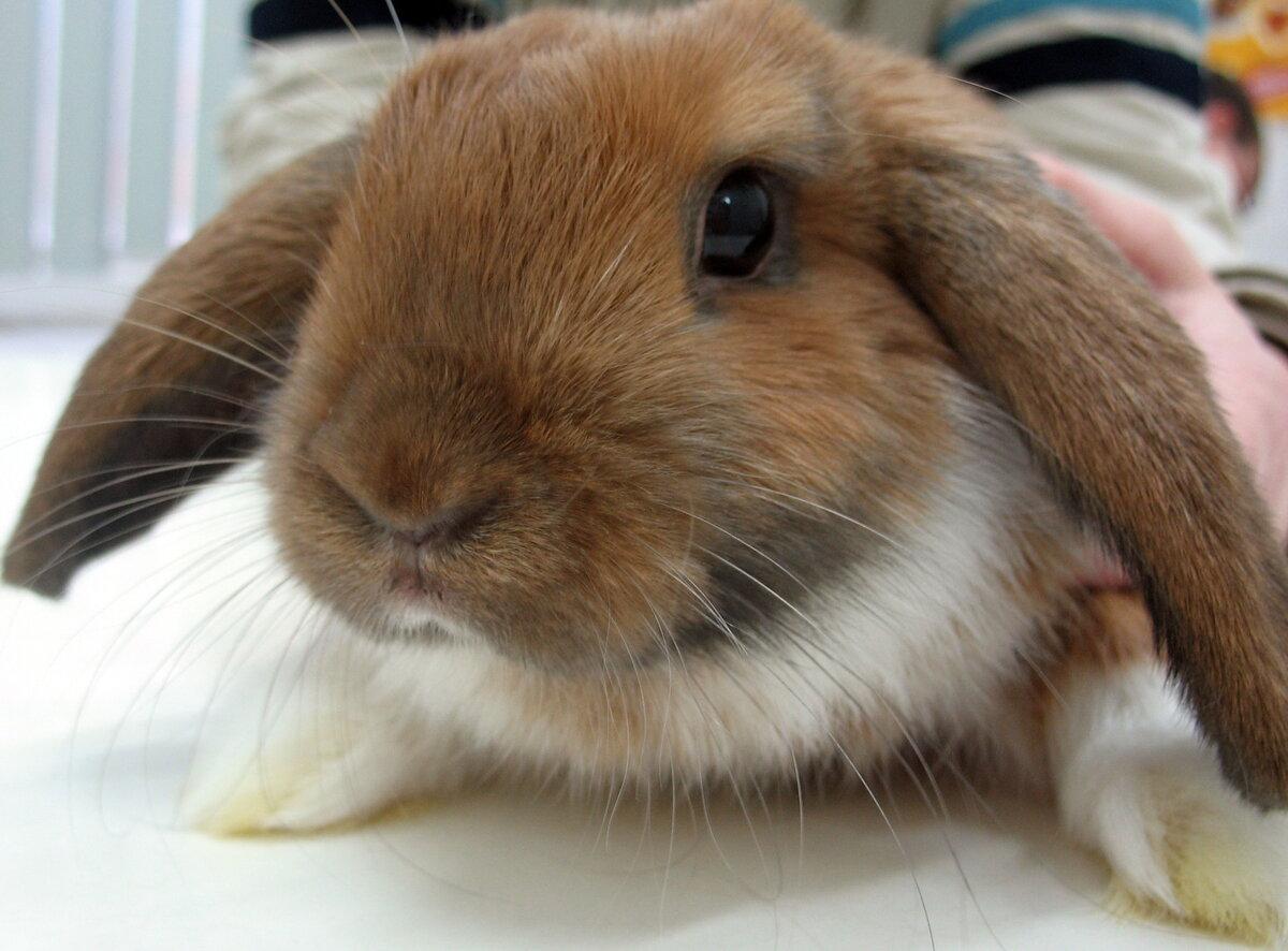 Глисты у кроликов, чем лечить кроликов от глистов