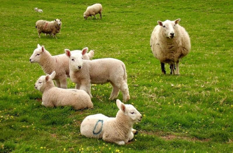 Ягненок (23 фото): особенности кормления маленького новорожденного детеныша овцы. как правильно развести сухое молоко? правила выращивания