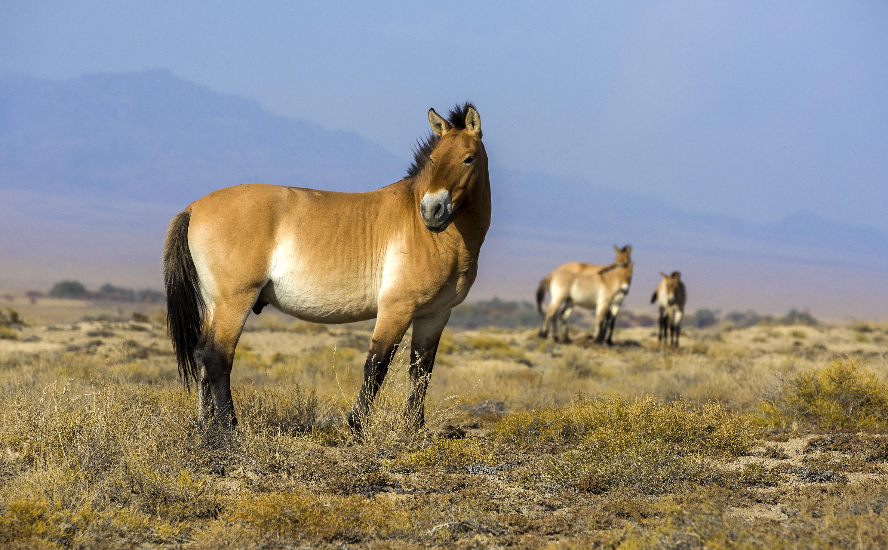Лошадь пржевальского: описание породы, места обитания