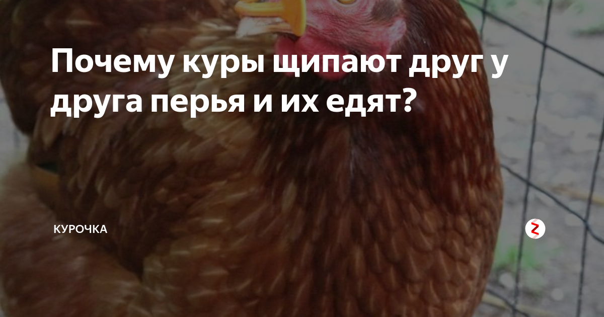 Что делать, если курица клюет своих или чужих цыплят? причины расстройства поведения и способы их устранить