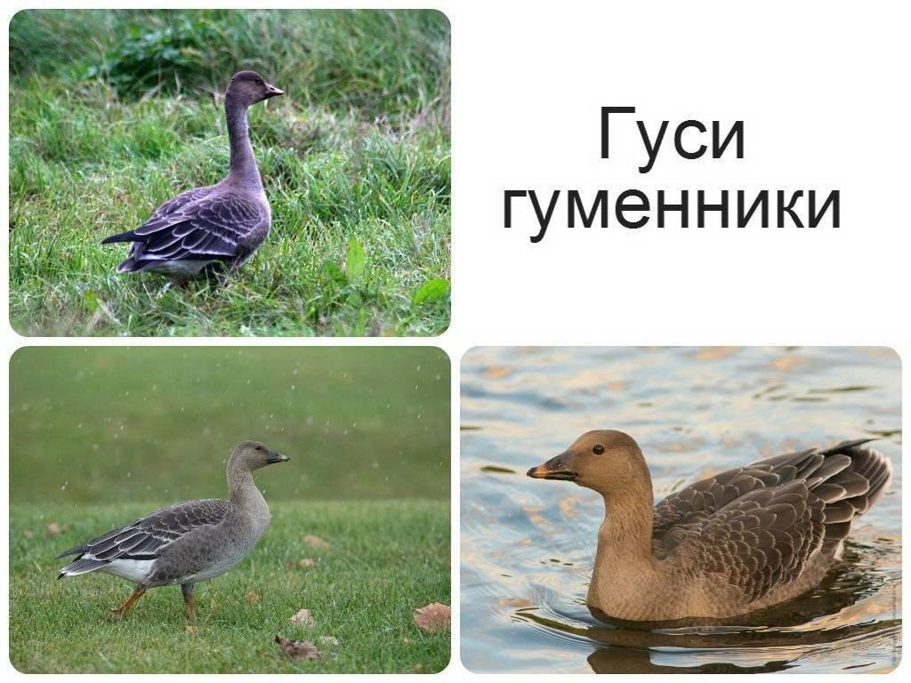 ✅ гусь и утка - отличия: как выглядят, в чем разница, основные признаки - tehnomir32.ru