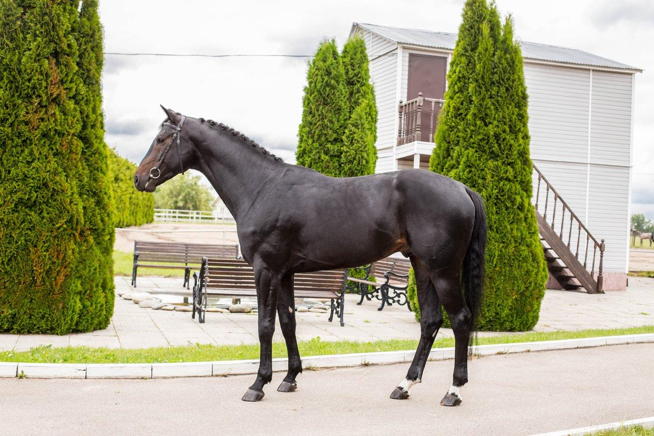 Ганноверская порода лошадей: подробная характеристики с фото и видео