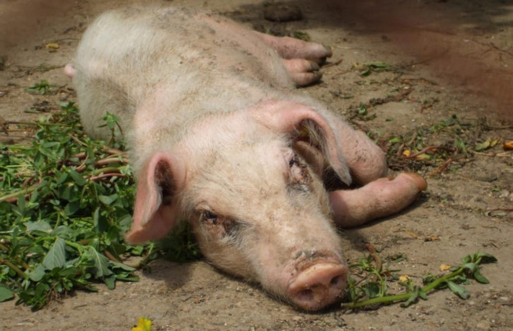 Рожа у свиней можно употреблять в пищу мясо