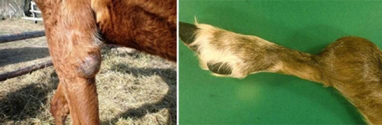 ᐉ грыжа у теленка: симптомы и лечение - zooon.ru