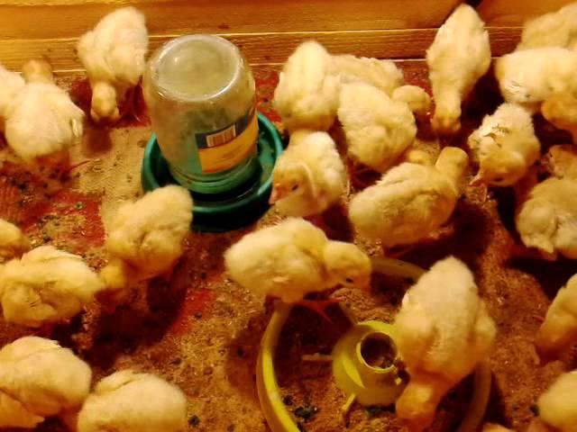 Чем и как кормить цыплят: уход за суточными цыплятами и полезные рекомендации опытных птицеводов